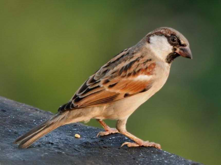 House_Sparrow_