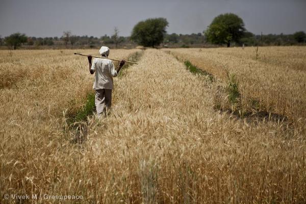 Wheat Field Irrigation in Maharashtra