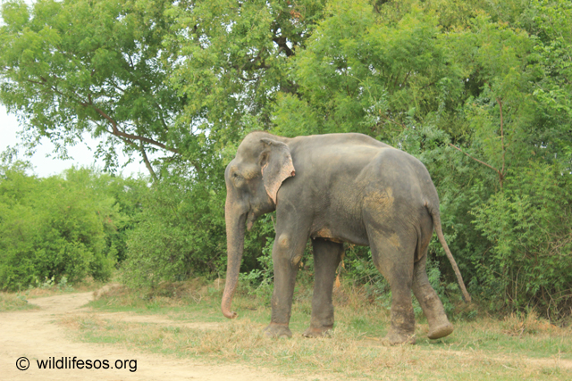 Raju walking chain free