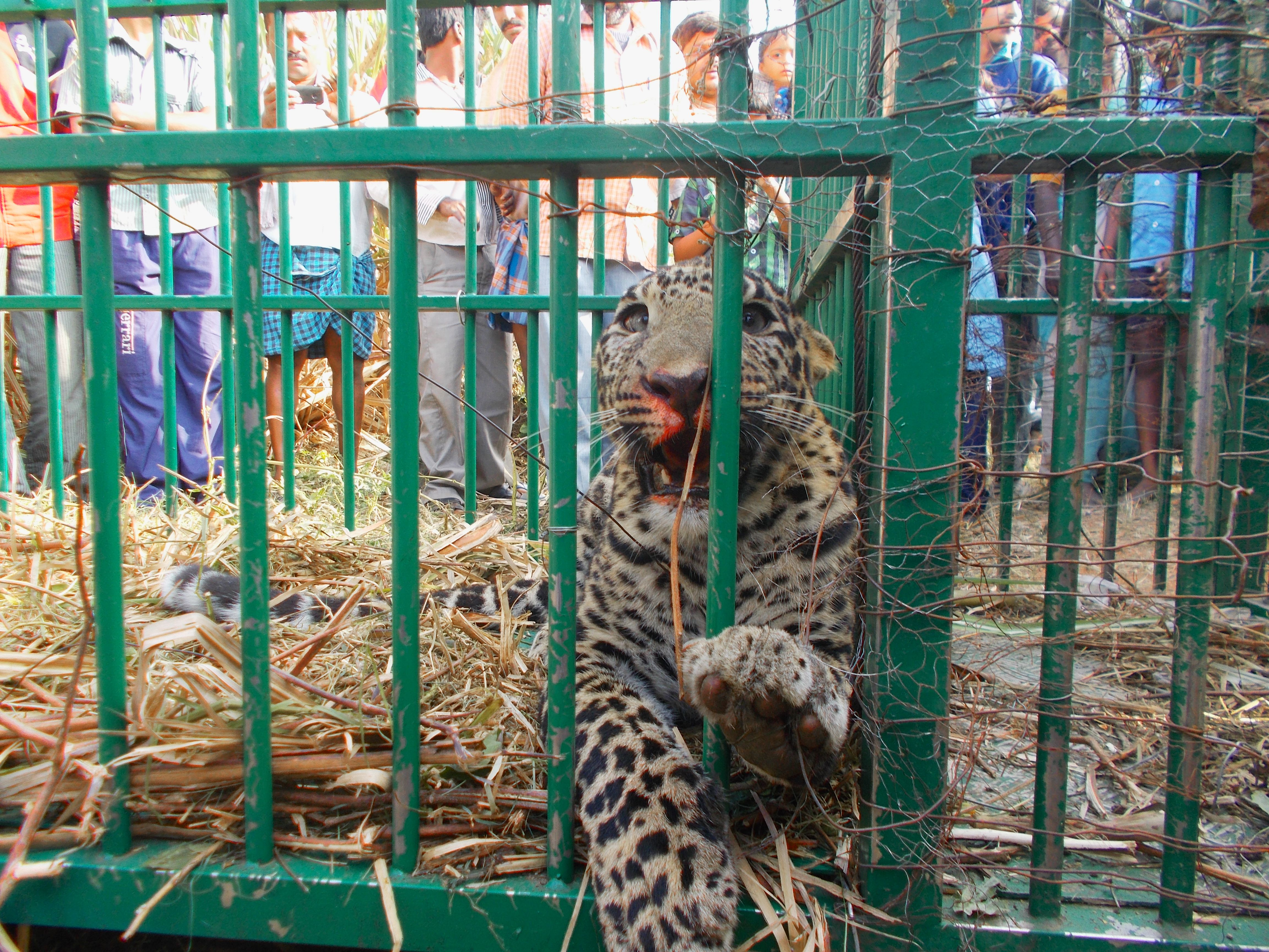 A captured leopard — Photo Courtesy: Centre for Wildlife Studies