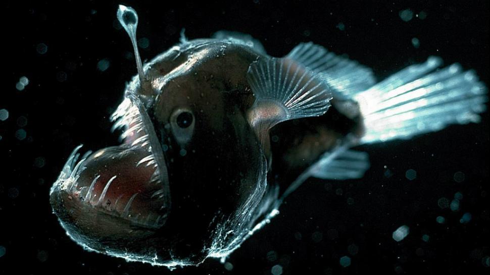 anglerfish feminism