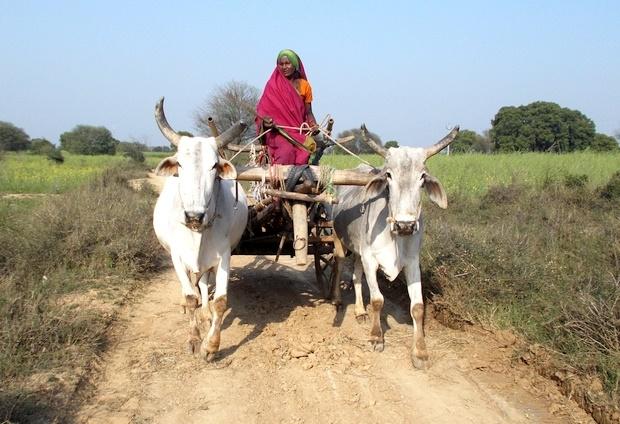 Kalli, a female farmer, riding her bullock cart in Uttar Pradesh's Banda district. Photo Credit: Khabar Lahariya