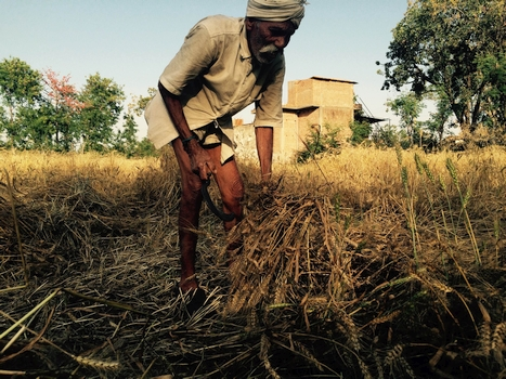 Dev Joo, 90, faces life as a labourer, after rain and hailstorms destroyed his wheat crop in UP's Rajwada village. With no money to repay a Rs-18,000 debt on his farmer's credit card, Joo mulls going to a moneylender and joining nearly 40 million Indian farmers who abandoned farming and, over a decade, became labourers. Image: Bhasker Tripathi, Gaon Connection