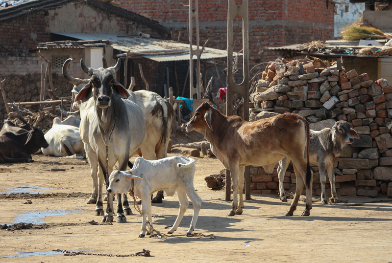 Cattle_in_India