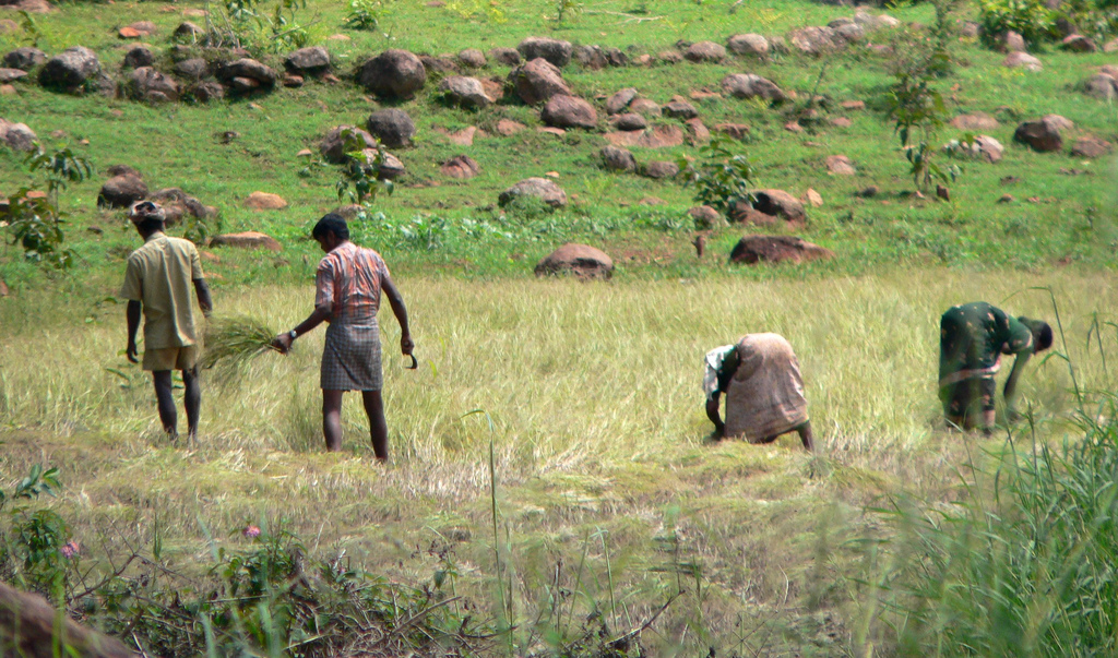 Farmers_harvesting_paddy