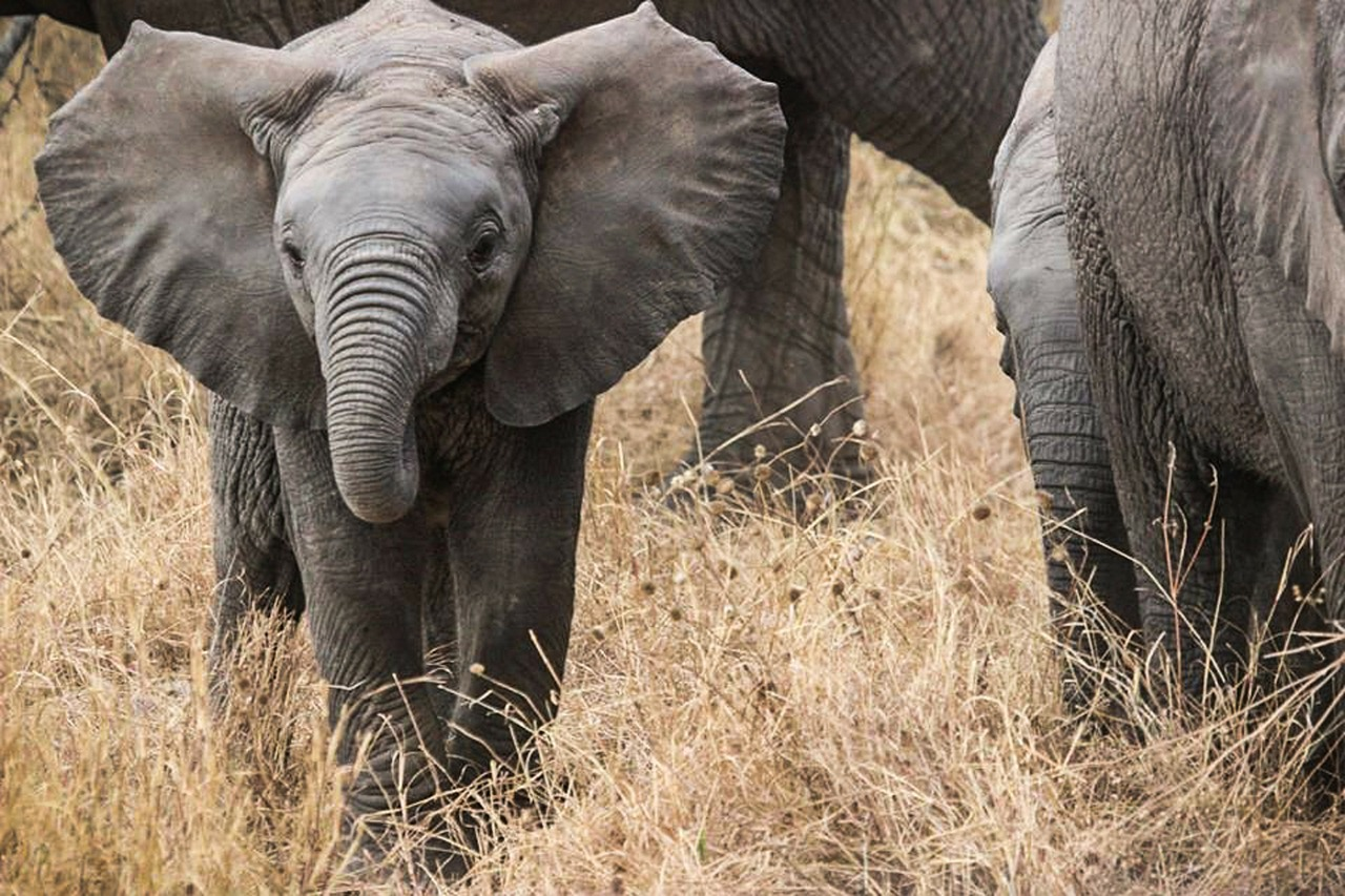 elephant-baby-285515_1280