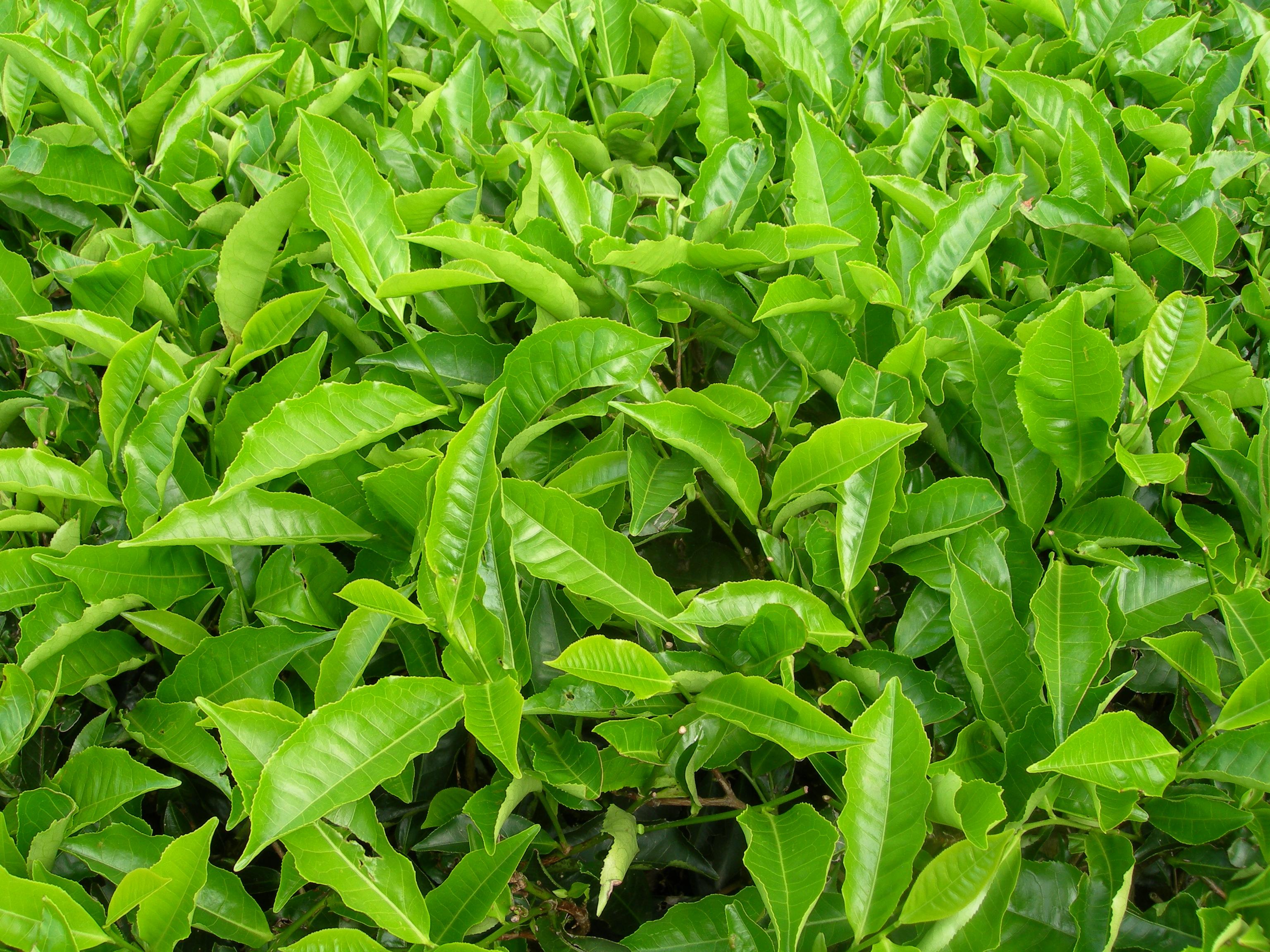 Tea_plants