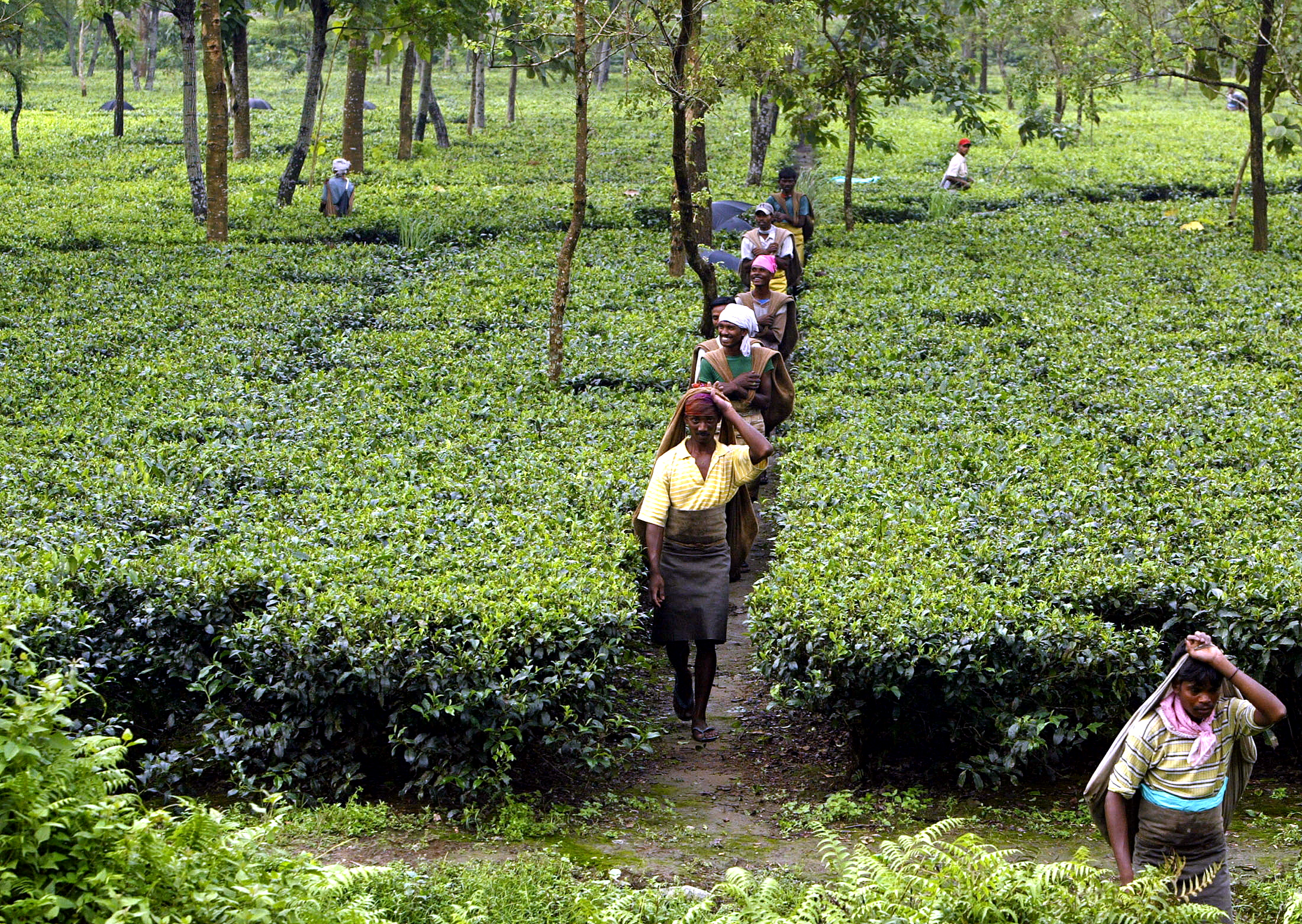 Indian tea pickers arrive for work at a tea estate at Naxalbari in the north eastern state of West Bengal, September 3, 2004. Tea exports had plummeted from 200 kg million in 2002 to 180 million kg last year. The slump in prices and exports was largely attributed to inferior quality of tea being produced by various Indian gardens, besides the loss of Pakistan and Iraq as potential buyers. The Indian tea industry had projected an estimated production of about 850 million kilograms this year. - RTXMWX6