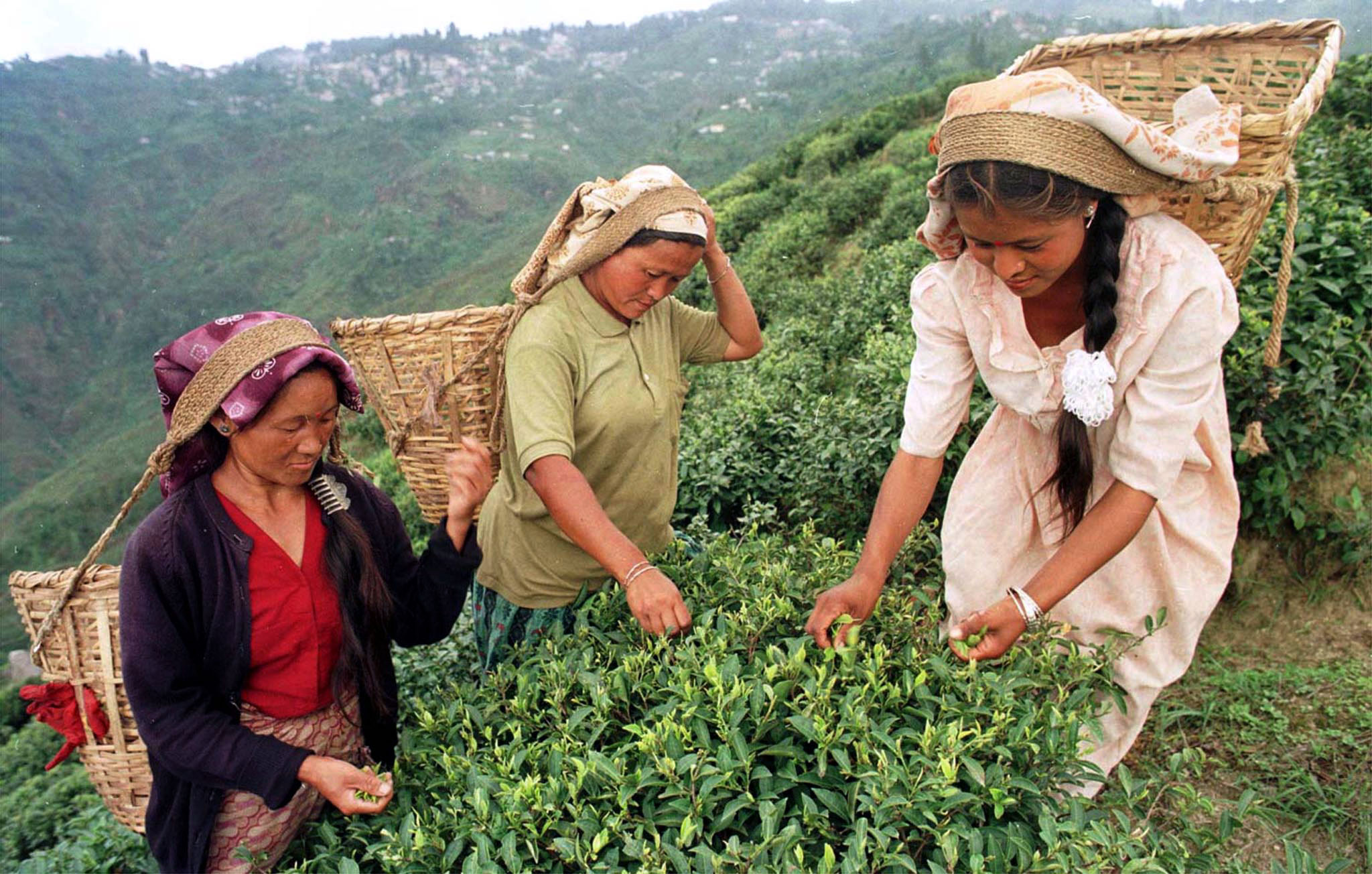 Three women pluck tea leaves at a tea gardens in the Himalayan town of Darjeeling on June 9. More than 60 percent of the tea garden workers are women. They earn 38 rupees ($1 = 43 rupees) a day. JS/DL/WS - RTRQ273