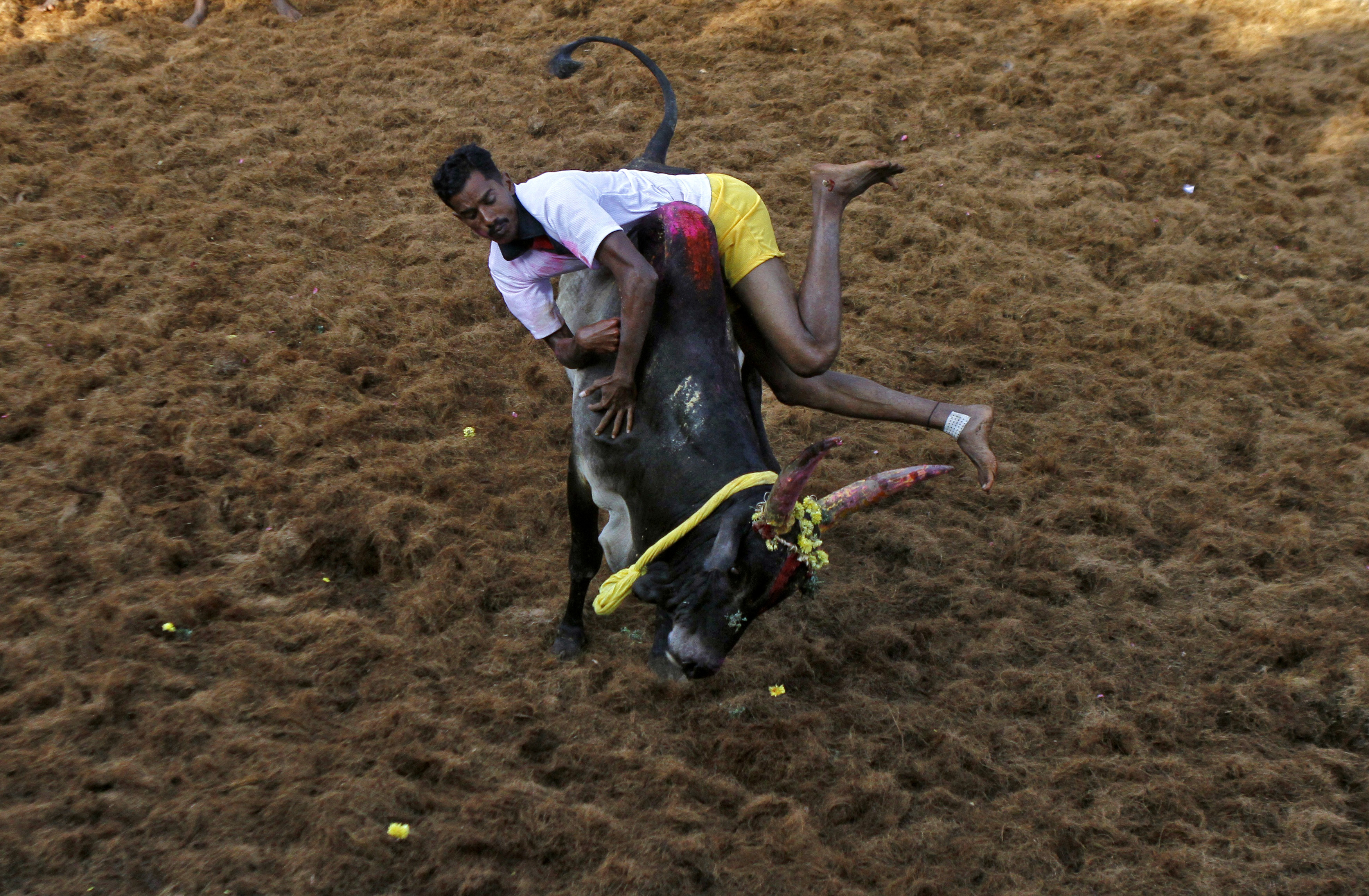 A villager tries to control a bull during a bull-taming festival on the outskirts of Madurai town, about 500 km (310 miles) from the southern Indian city of Chennai January 16, 2013. The annual festival is part of south India's harvest festival of Pongal. REUTERS/Babu (INDIA - Tags: RELIGION ANNIVERSARY ANIMALS) - RTR3CIYC
