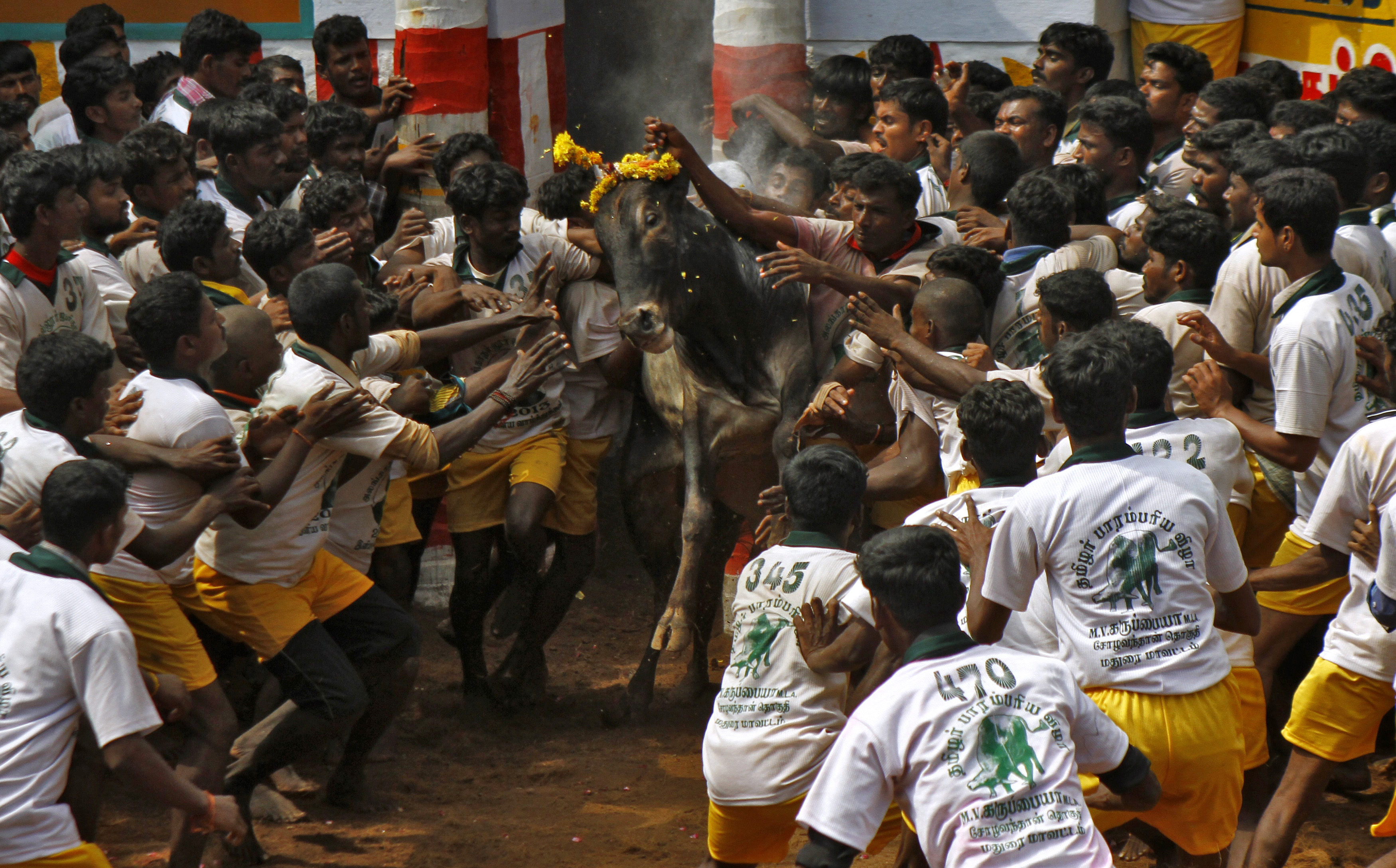 Villagers try to control a bull during a bull-taming festival on the outskirts of Madurai town, about 500 km (310 miles) from the southern Indian city of Chennai January 16, 2013. The annual festival is part of south India's harvest festival of Pongal. REUTERS/Babu (INDIA - Tags: RELIGION ANNIVERSARY ANIMALS TPX IMAGES OF THE DAY) - RTR3CIYB
