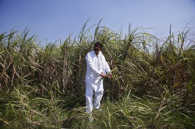 Indian farmer Rajvir Singh shows sugarcane crop damaged by unseasonal rains, in Sisola Khurd village in the northern Indian state of Uttar Pradesh, March 24, 2015. Picture taken March 24, 2015. REUTERS/Anindito Mukherjee - RTR4VB6O