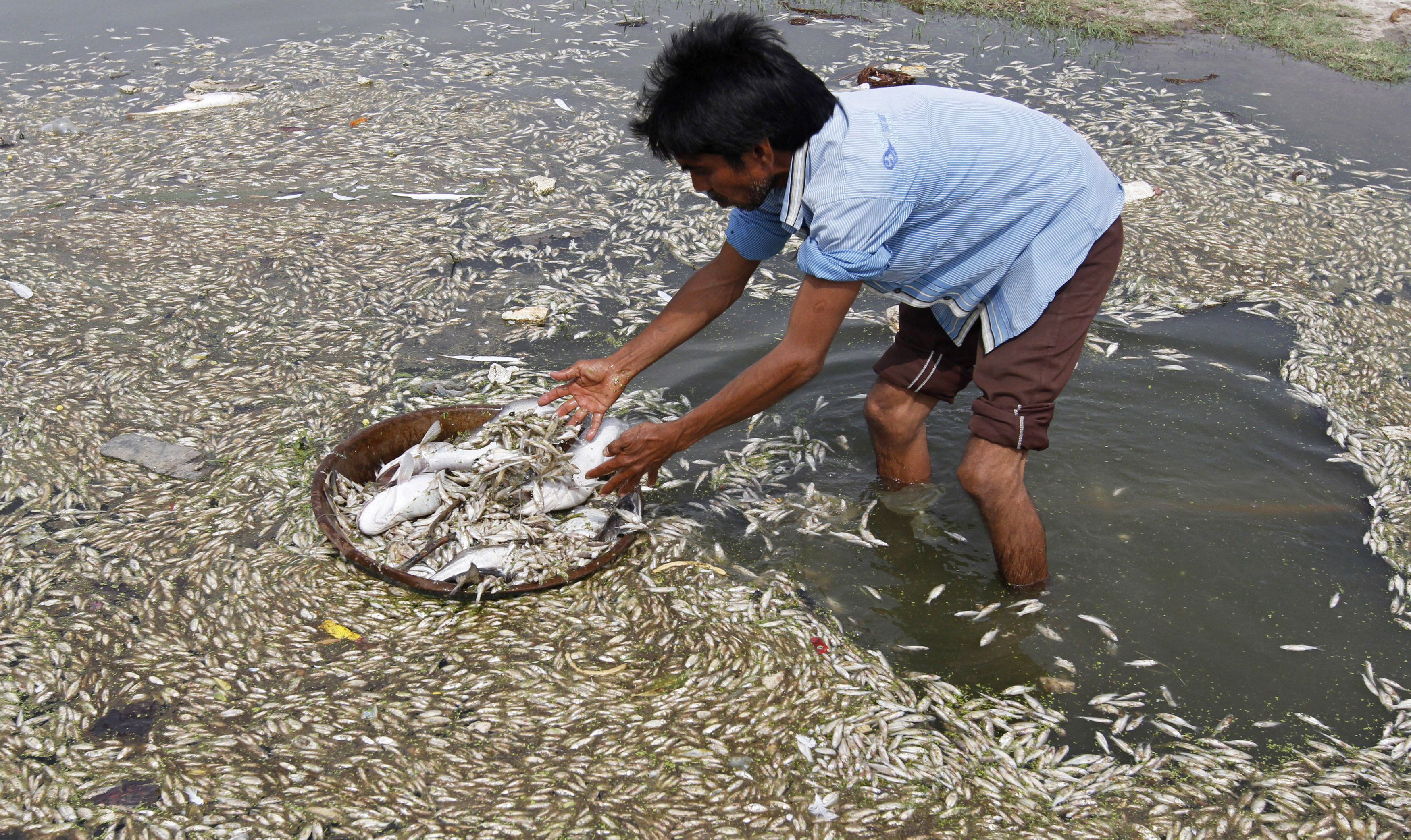 A villager fills a bucket with dead fish from the polluted waters of a lake at Matado village, about 35 km (22 miles) west from the western Indian city of Ahmedabad August 11, 2012. Thousands of dead fish were found floating on the lake on Saturday due to depletion of oxygen and polluted waters coming in from the near-by factories, village head said. REUTERS/Amit Dave (INDIA - Tags: ENVIRONMENT SOCIETY) - RTR36O85