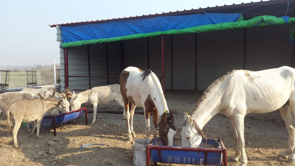 The Equine Retirement Center in Uttarakhand run by People for Animals has offered to take in Shaktimaan and care for him along with the other disabled and injured equines rejected from mining and Char Dham Yatras. (Photo credit: Gauri Maulekhi)