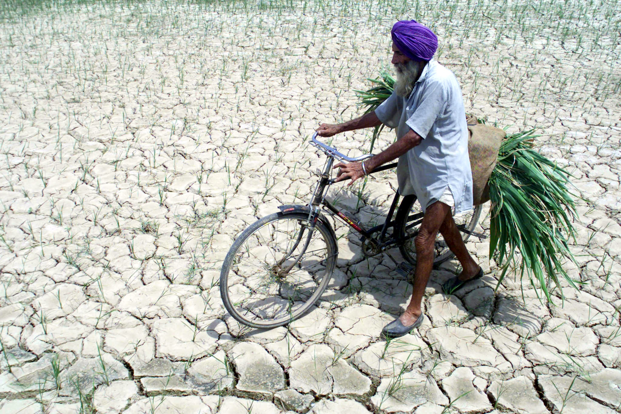 A Sikh farmer walks through a parched paddy field carrying fodder for his animals in the village of Morinda in India's northern state of Punjab, August 3, 2002. Rainfall across India was 30 percent lower than normal during the first two months of the monsoon season, causing the country's worst drought in a decade, [farm minister Ajit Singh said on Thursday.] - RTXLGMC