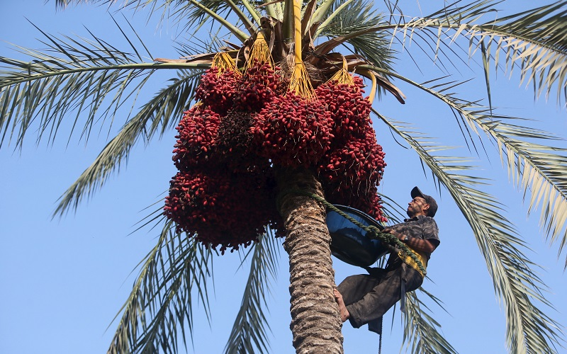 A Palestinian farmer harvests dates from a palm tree in Khan Younis in the southern Gaza Strip October 4, 2015. REUTERS/Ibraheem Abu Mustafa - RTS2XF2