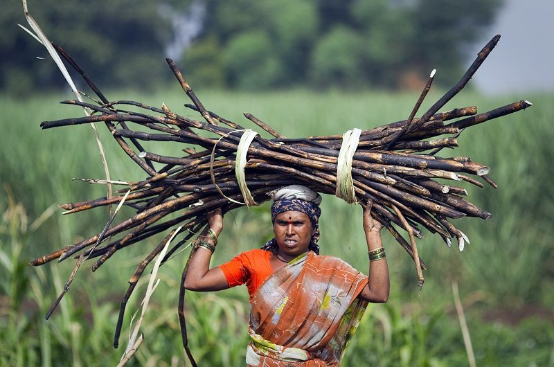 A woman carries a bundle of cut sugarcane on her head as farmers harvest a field outside Gove village in Satara district, about 260km (161 miles) south of Mumbai May 10, 2011. REUTERS/Vivek Prakash (INDIA - Tags: BUSINESS EMPLOYMENT HFS) - RTR2PEMY