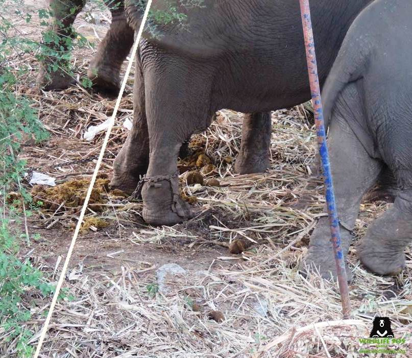 Elephants chained and standing in their own feces at the circus
