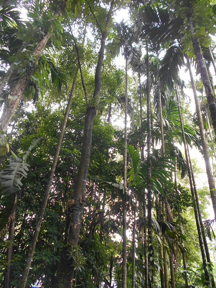 If This Tree In Assam Is Cultivated, It Can Lead To An Income Of