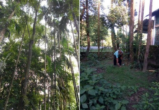 If This Tree In Assam Is Cultivated, It Can Lead To An
