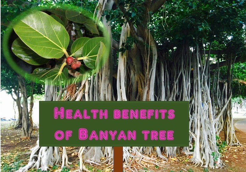 Medicinal and health benefits of Banyan Tree