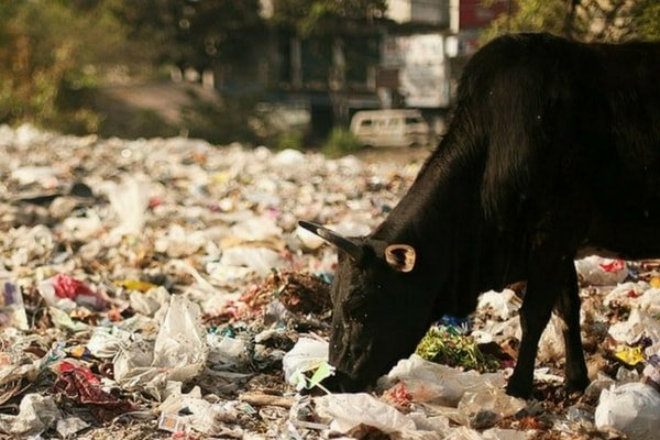A cow with her head in garbage.