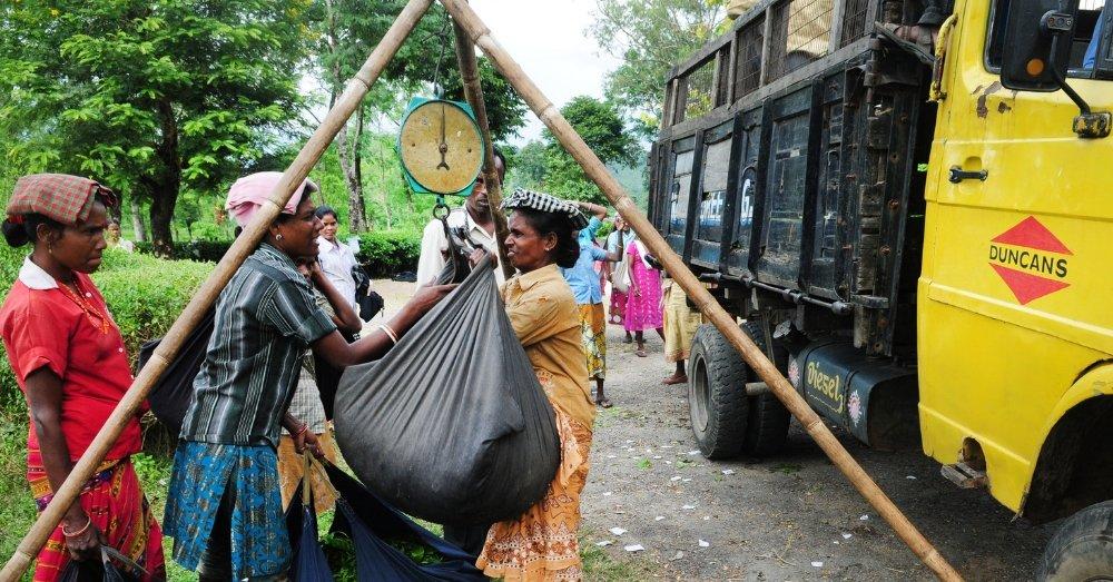 असम के चाय बगान में काम करती महिलाएं