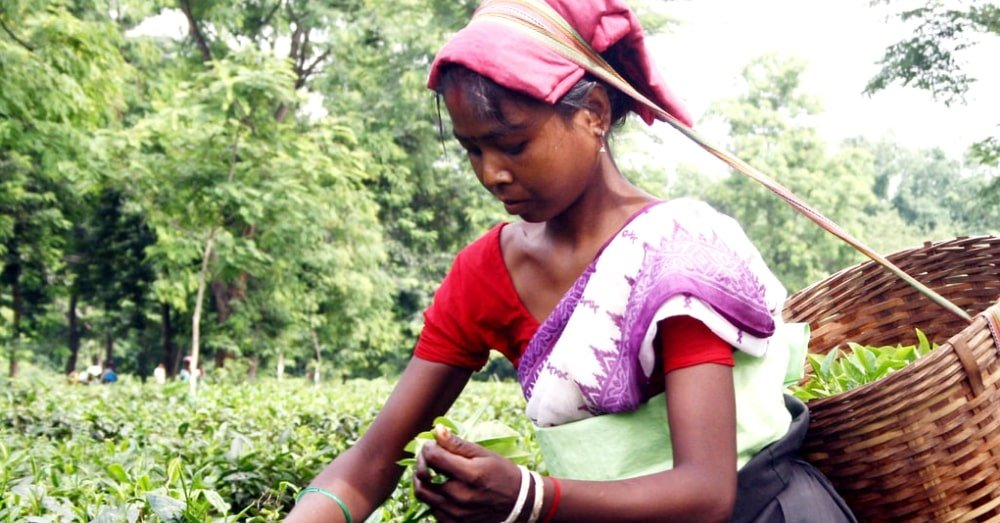 Assam Tea: A Serendipitous Discovery That Has Become A