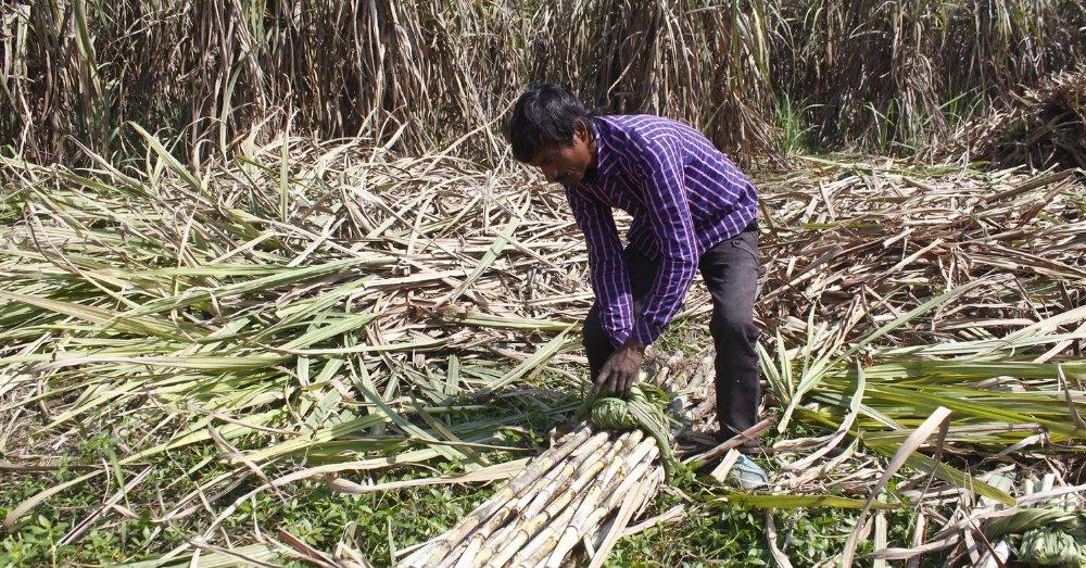 खेत में गन्ना किसान