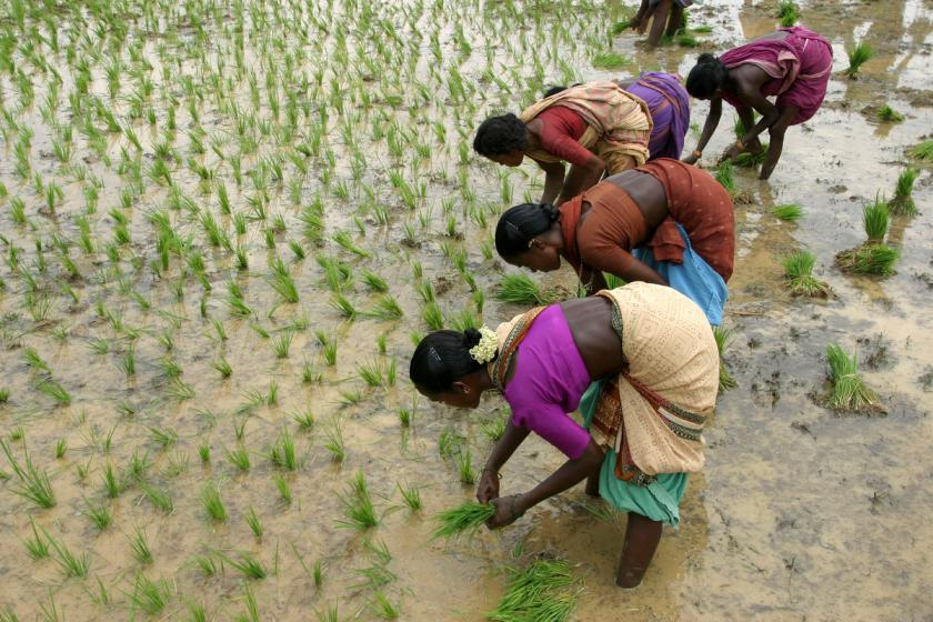 Paddy farming which requires high amounts of water