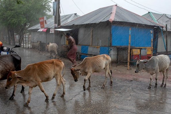 A man tries to gather his cows befor cyclone Amphan hits.