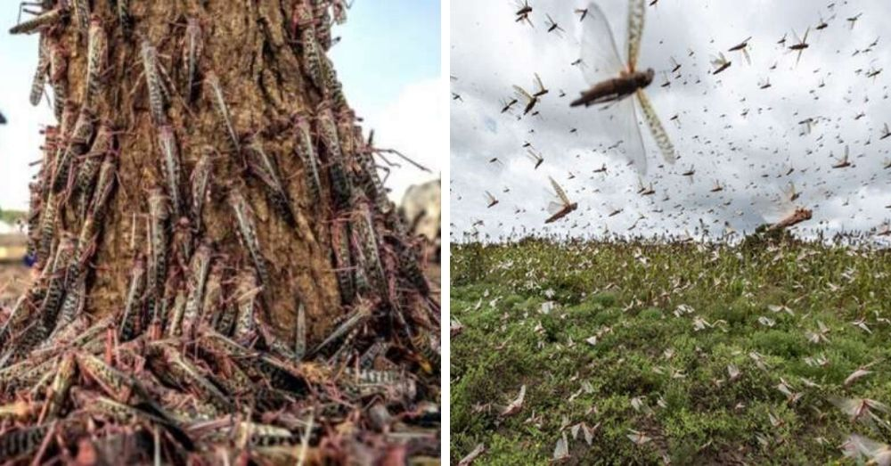 locust attack on fields destroying the crops