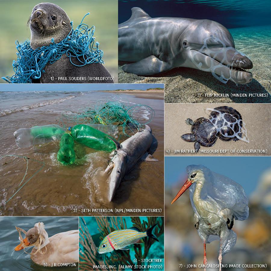 Oceanic animals entangled in plastic