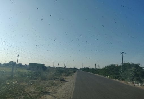 swarm of locusts in the air
