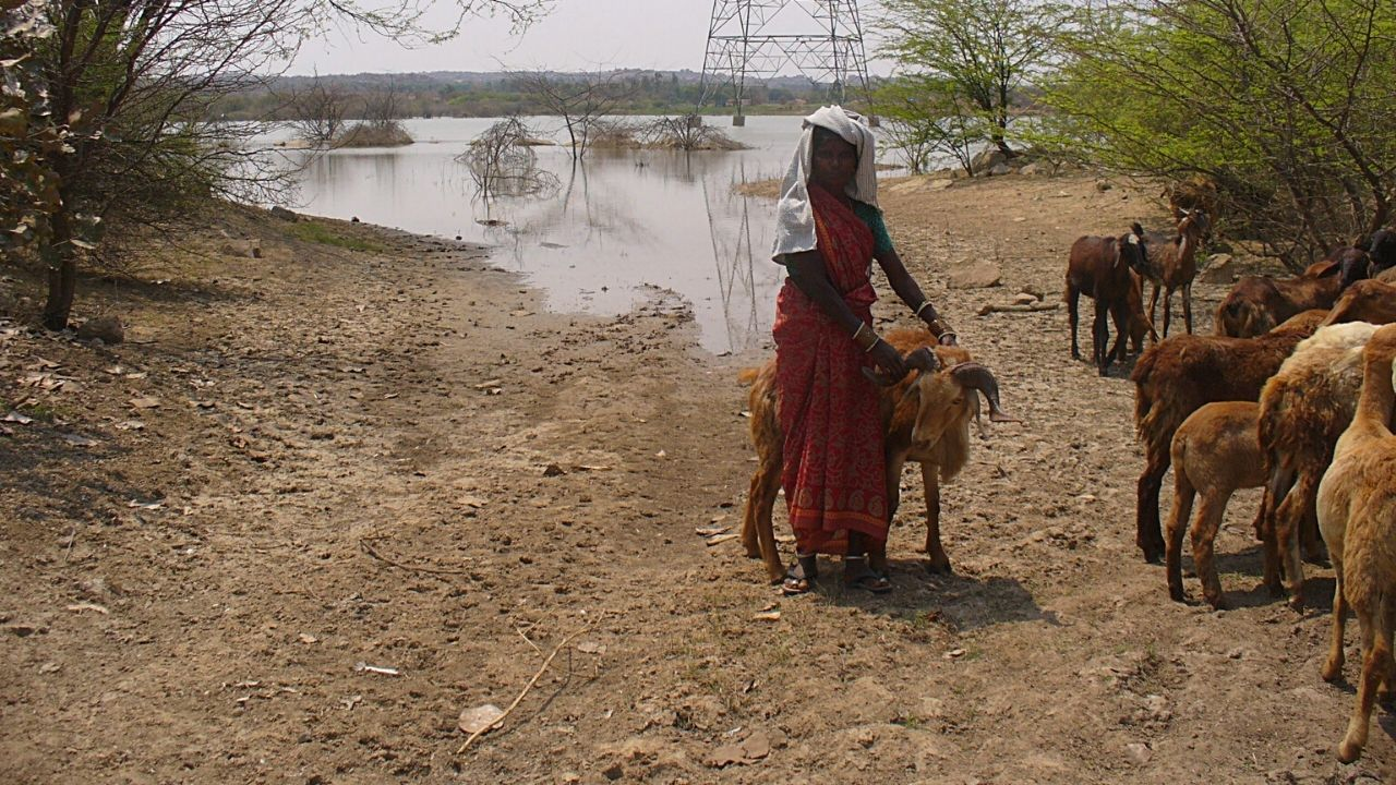 Woman taking goat herd to river for water